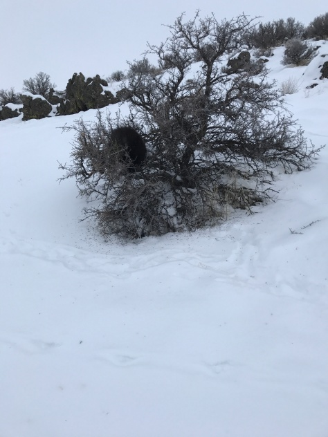 Porcupine in bitterbrush; it didn't want to show its face, and I'm glad I was able to keep Peat from this thing.