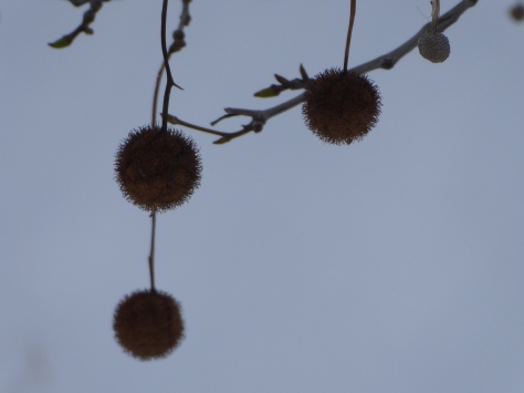 Sycamore pods