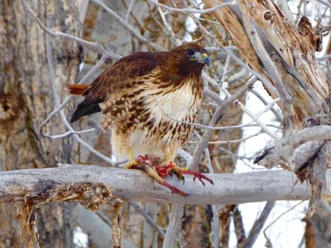 Red-tailed hawk feeding on chukar